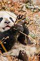 born in china natl panda day new pics 09