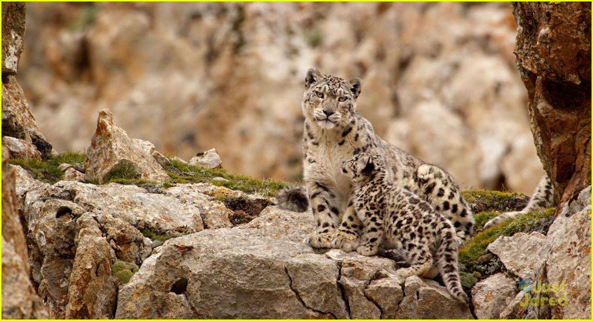 born china snow leopard story pandas monkeys 03