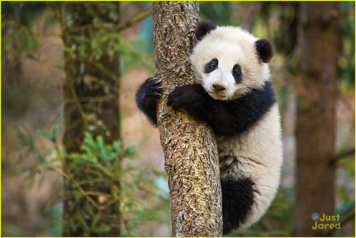born china snow leopard story pandas monkeys 07