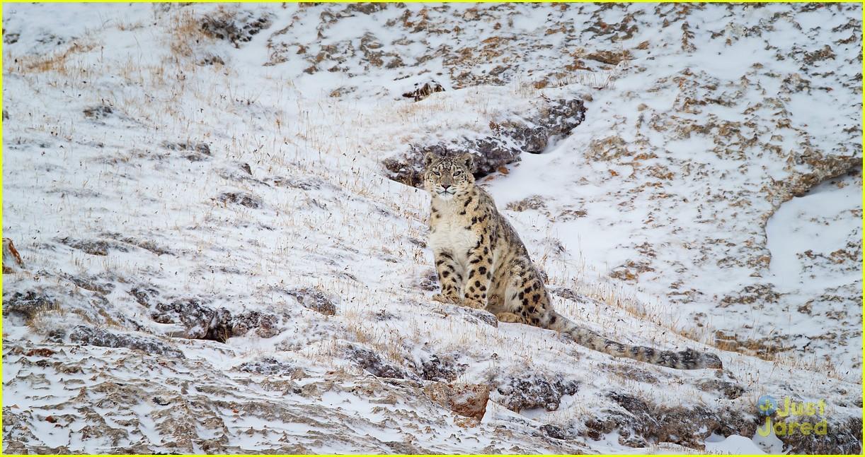 born china snow leopard story pandas monkeys 26