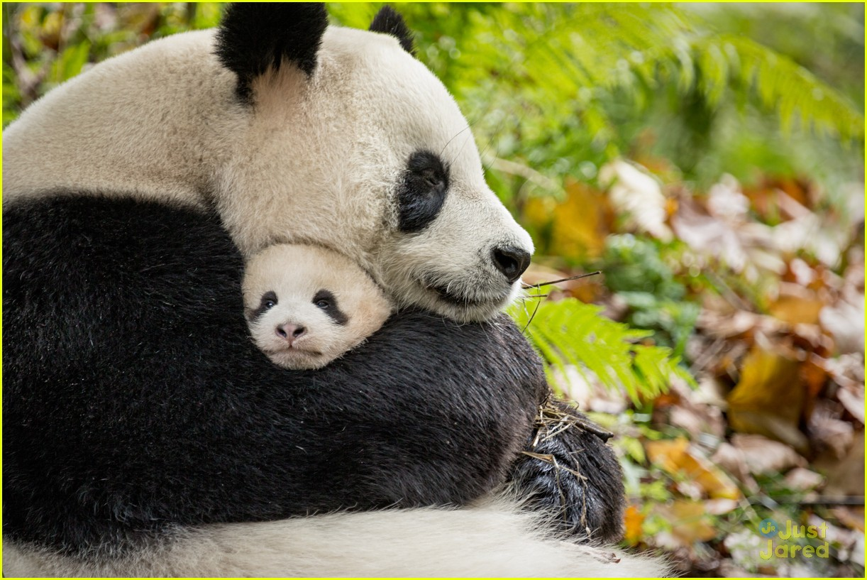 born china snow leopard story pandas monkeys 37