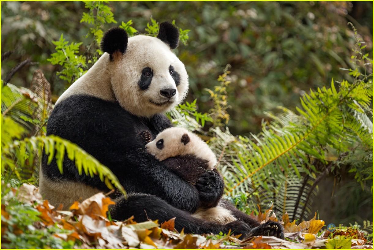 born china snow leopard story pandas monkeys 38