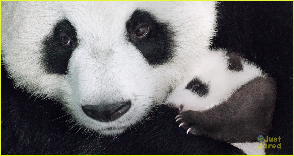 born china snow leopard story pandas monkeys 39