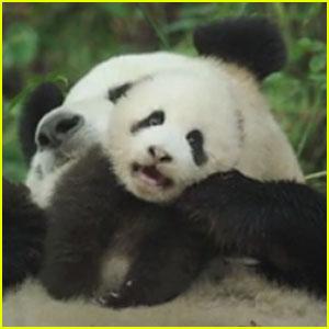 Disneynature's Next Film 'Born In China' Centers on Pandas, Monkeys & More