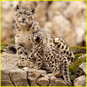 'Born in China's Snow Leopard Storyline Will Tear Your Heart in Pieces